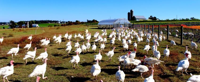 Organic Turkeys Now Available!