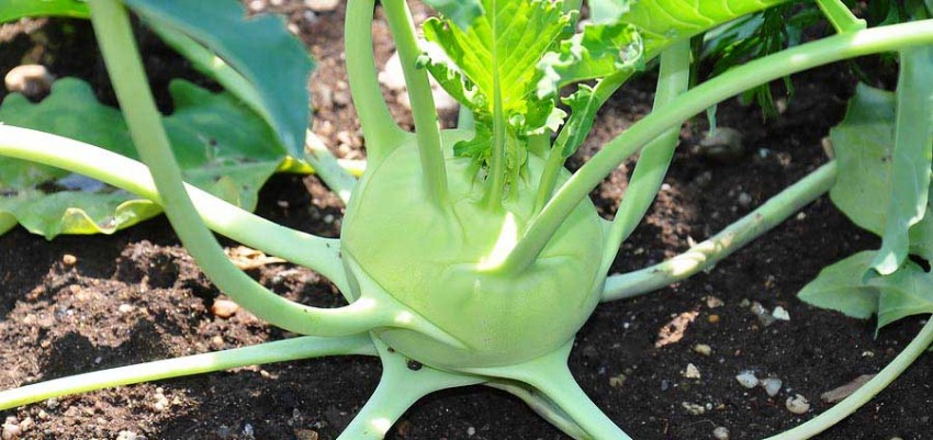 What, How, Why | Kohlrabi