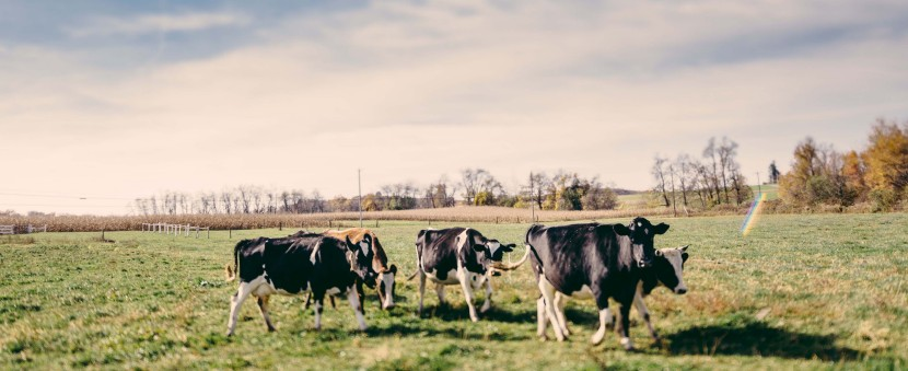 organic pastured cows