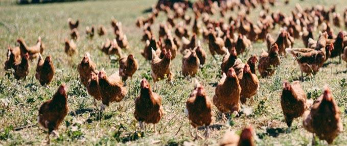 chickens LFFC 1