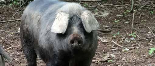 Pigs LFFC